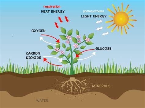 photosynthesis  respiration  plants photosynthesis