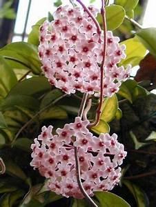 Grande Plante D Intérieur Facile D Entretien : hoya carnosa ou fleur de porcelaine pr sentation et ~ Premium-room.com Idées de Décoration