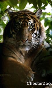 Tiger | resting tiger ,eyes fixed on prey Visit Chester ...
