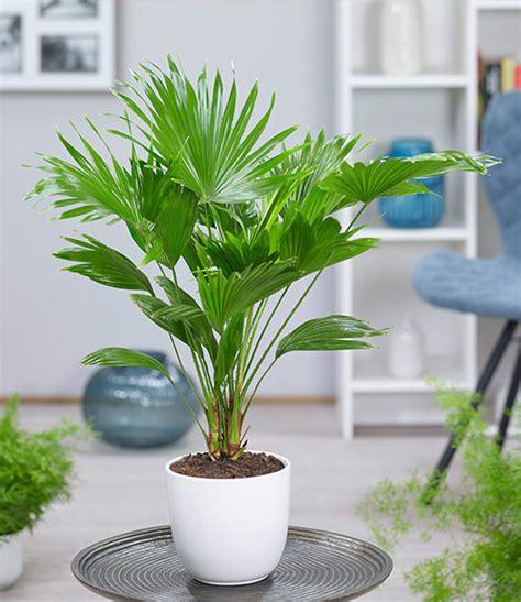Zimmerpflanze Hoch by Palmen Als Zimmerpflanzen Wohn Design