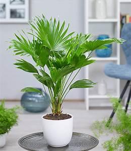 Palmen Für Drinnen : palme 39 livistona rotundifolia 39 ca 40 cm hoch 1a zimmerpflanzen online kaufen baldur garten ~ Bigdaddyawards.com Haus und Dekorationen