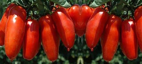 vendita piantine  pomodoro san marzano vaso