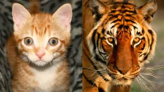 house cat house cats tigers similarities between domestic