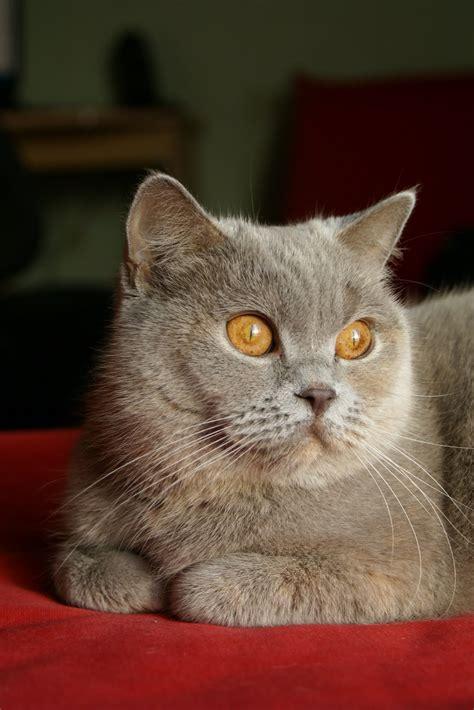 Mybritishcat: Mans Britu īsspalvainais kaķis Heta -Hēra