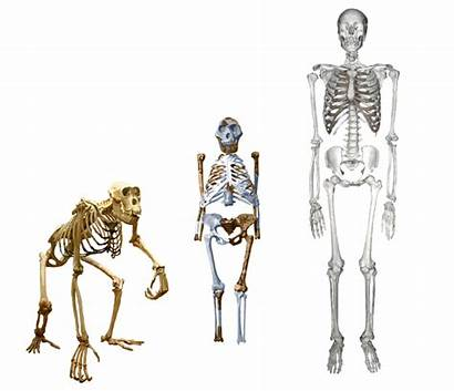 Fossils Lucy Fossil Human Famous Evolution Hominids