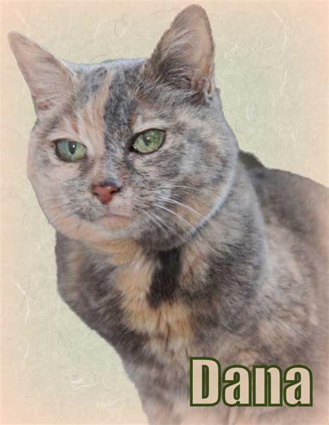 Muted Dilute Tortoiseshell Cat Dana