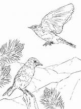 Coloring Bluebird Pages Mountain Birds Woodland Eastern Printable Animals Creature Realistic Drawing Drawings Designlooter Recommended 1200px 12kb Categories Comments sketch template