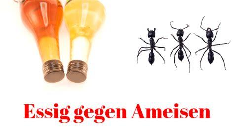 Essigwasser Gegen Geruch by ᑕ ᑐ Essig Gegen Ameisen Hausmittel 100 Wirksam