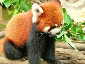 Baby Red Panda - BuzzFeed Mobile | Pics | Pinterest | So ...
