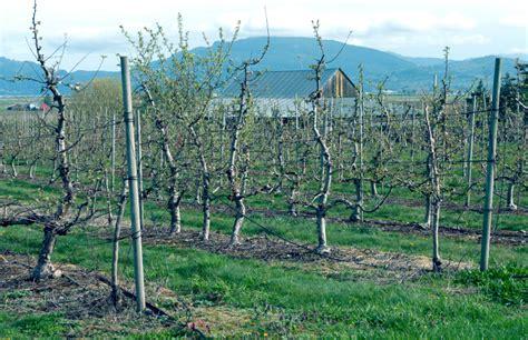 alte kirschbäume schneiden alte obstbume richtig schneiden krbeweise saftige pfel