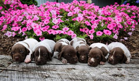 Female Pick #4 - Meadow View Puppies