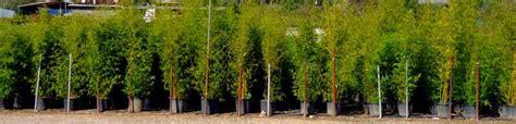 bambou en pot pour balcon bambou en pot marseille aix en provence
