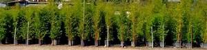 Bambou En Pot Pour Terrasse : pot pour terrasse exterieur olivier en pot pour la terrasse ou le balcon conseils et photos ~ Louise-bijoux.com Idées de Décoration