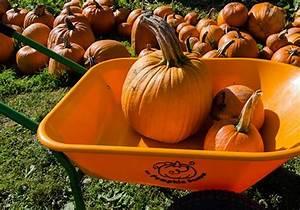Pumpkins And Pumpkin Patch At Bob U0026 39 S Corn  Maze  U0026 Pumpkin