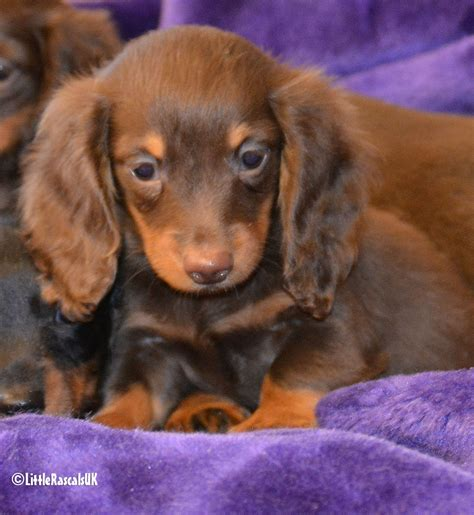 Datsun Puppies by Haired Dachshund Puppies For Sale Rascals