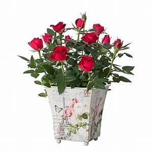 1 Rote Rose Bedeutung : blumenlexikon bedeutung der blumen my blumenversand ~ Whattoseeinmadrid.com Haus und Dekorationen