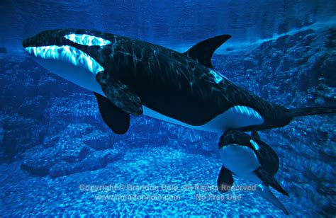 Mother And Baby Orca Underwater