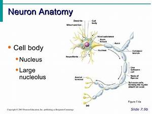 Neuron Anatomy And Physiology Exercise 13