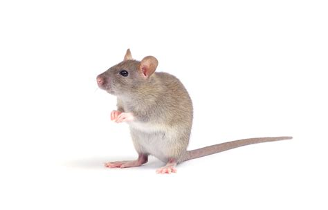 picture of a rat rats and mice magnolia exterminating