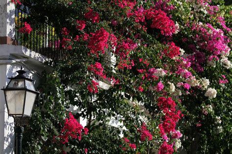 fiori ricanti resistenti al freddo fiori ricanti resistenti al freddo con piante da