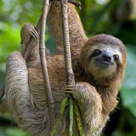 sloth sunday    sloths   drink water