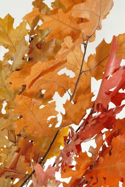 preserved golden orange oak   branches