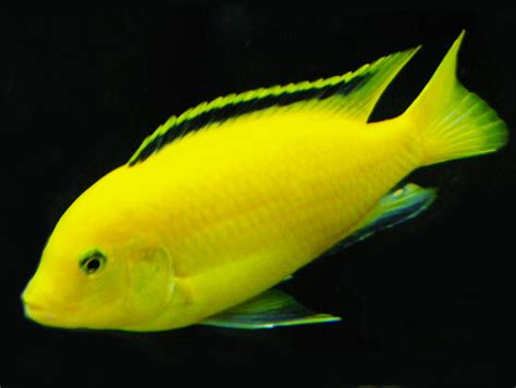 electric yellow labidochromis caeruleus aquarium fish