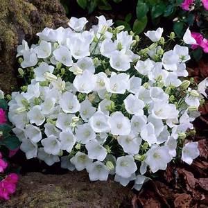 Weiß Blühende Stauden : karpaten glockenblume wei 9 cm topf stauden pinterest t pfchen pflanzen und stauden ~ Markanthonyermac.com Haus und Dekorationen