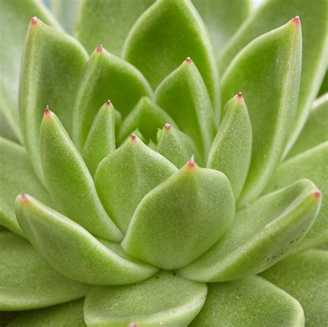 Buy moulded wax succulent Echeveria agavoides: £8.99 ...