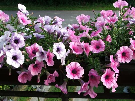 images petunias 301 moved permanently