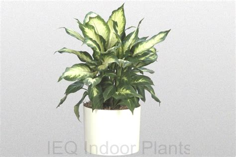 low light indoor plants best indoor plants brisbane zanzibar gem low light plants