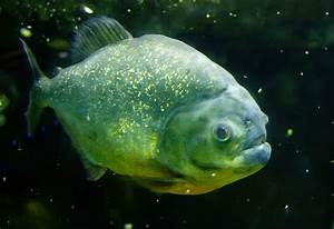 File:Piranha fish.jpg