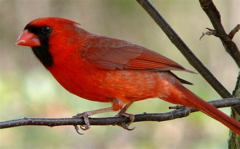 list of birds of indiana wikipedia