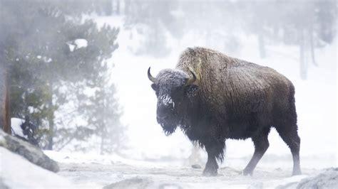excellent hd bison wallpapers