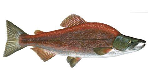salmon sustainable fish marine stewardship council
