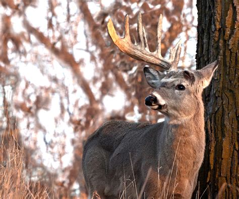 shedding antlers why bucks shed antlers and how to hunt them realtree camo