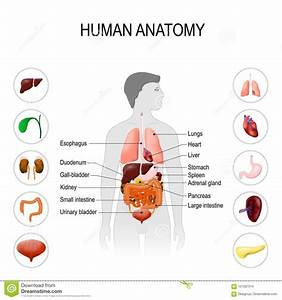 Human Urinary System Labelled Diagram Cartoon Vector