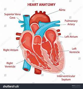 Heart Anatomy Cross Section Diagram Stock Vector 157286378
