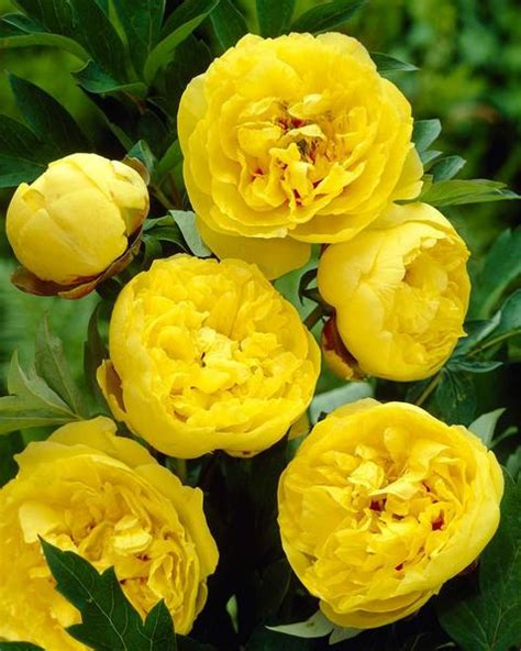peony yellow crown bare roots buy yellow peonies
