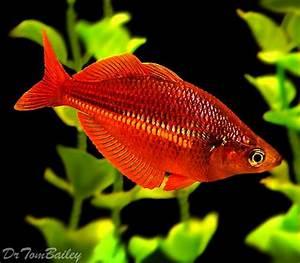 Rainbow Fish for sale Premium Neon Rainbow above