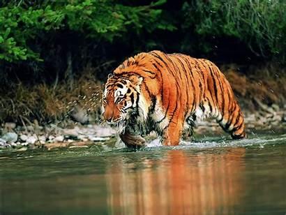 Tiger Wallpapers Desktop Tigers 4u