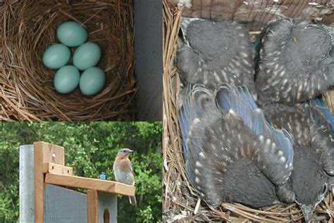 build  bluebird house  steps  pictures wikihow