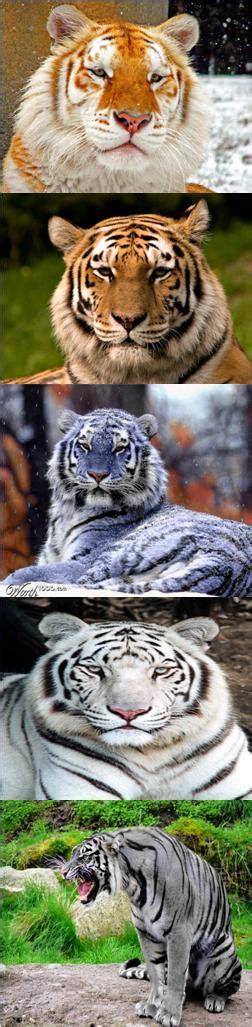 Golden Tiger Bengal Maltese White