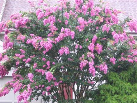 light pink flowering tree 35 light pink crepe myrtle lagerstroemia flowering shrub bush small tree seeds 171 lawn nation