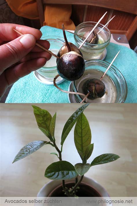 baum stecklinge ziehen avocado pflanzen avocadobaum selber ziehen garten avocado baum avocadobaum und avocado pflanze