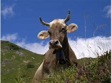 Kühe Sensibel und immer sehr beschäftigt – GlücksPost