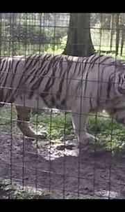 09 Sapphire the White Tiger Big Cat Rescue - YouTube