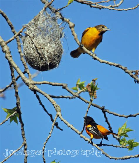 northern illinois birder baltimore oriole may migration
