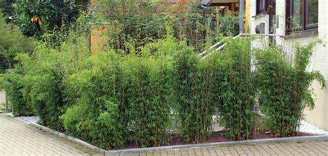 Sichtschutz Garten Bambus Pflanze by Pflanze Als Sichtschutz Bambus Kaufen