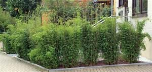 Sichtschutz Bambus Pflanze : pflanze als sichtschutz bambus online kaufen amp sichtschutz pflanzen bambusbrse nowaday garden ~ Sanjose-hotels-ca.com Haus und Dekorationen